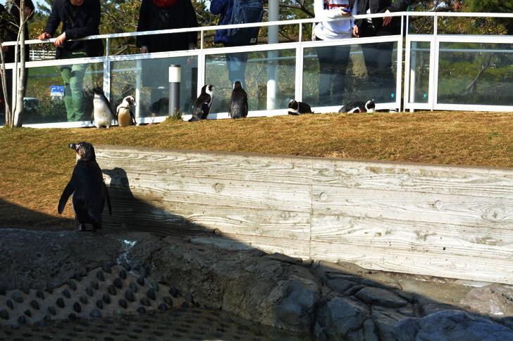 「マリンワールド」と「志賀島」を散歩:ペンギン