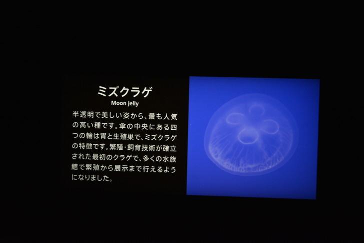 「マリンワールド」と「志賀島」を散歩:「ミズクラゲ」という種類らしい