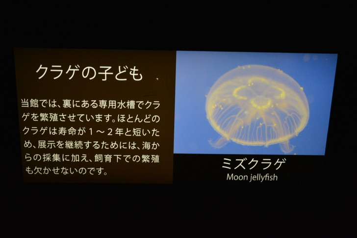「マリンワールド」と「志賀島」を散歩:さて、次は子供のクラゲです