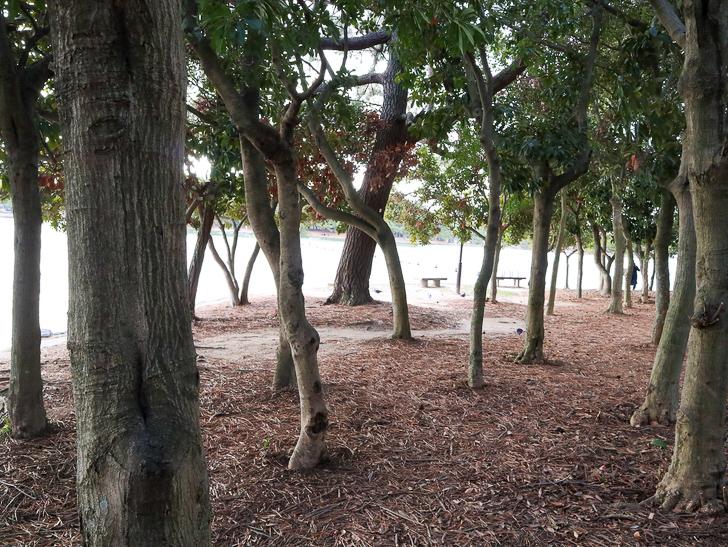 大きな池越しの都会「大濠公園」をまったり散歩:林:うねった樹木