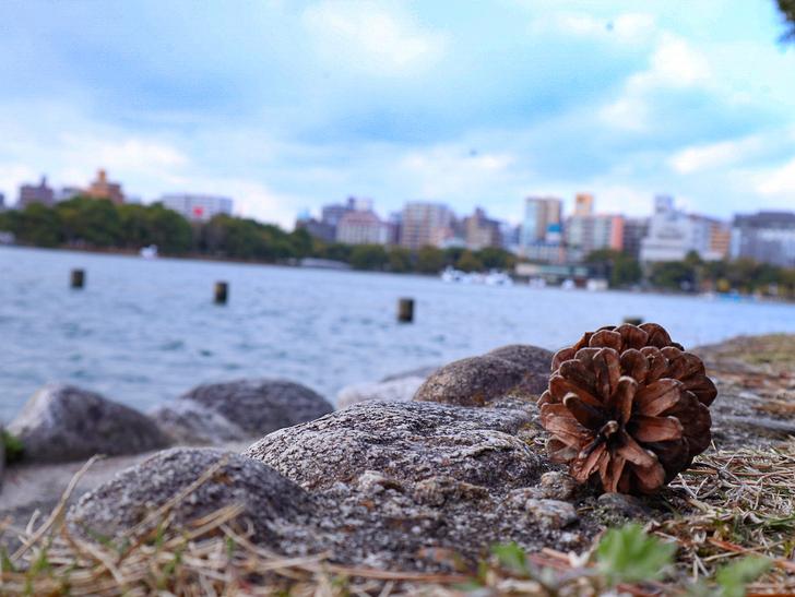 大きな池越しの都会「大濠公園」をまったり散歩:松ぼっくりと池
