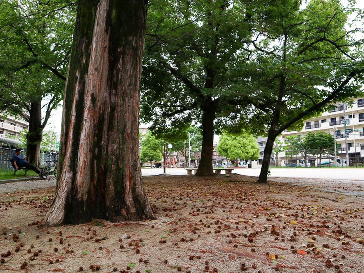 【南区大楠2丁目】静かな並木道をゆったり散歩:堀川公園:大きな木